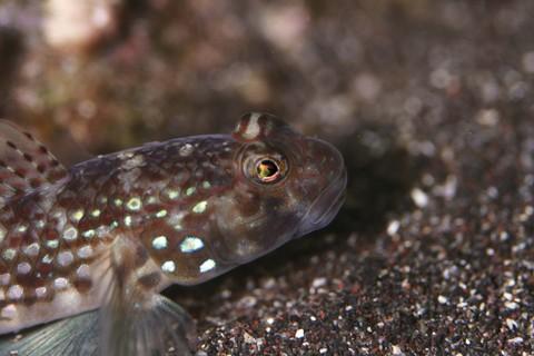 カザリハゼ Istigobius ornatus