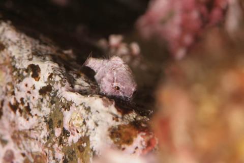 志津川のダンゴウオ Lethotremus awae
