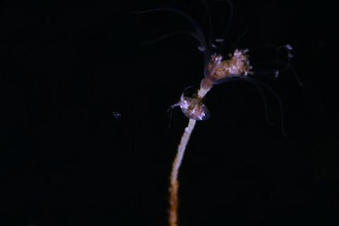 志津川 ヒドロ虫とヨコエビ Hydrozoa, Gammaridea