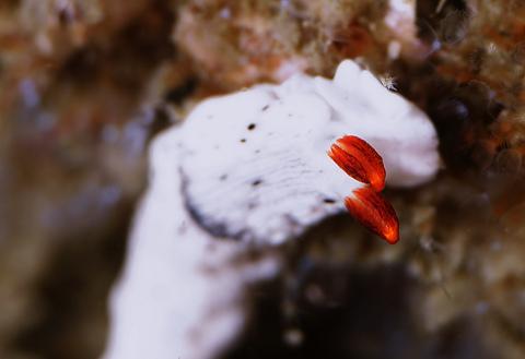 オトメウミウシ Dermatobranchus otome