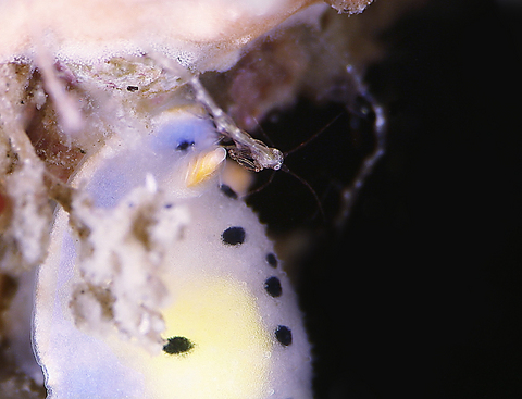 ウスイロウミウシ Hypselodoris placida 明鐘