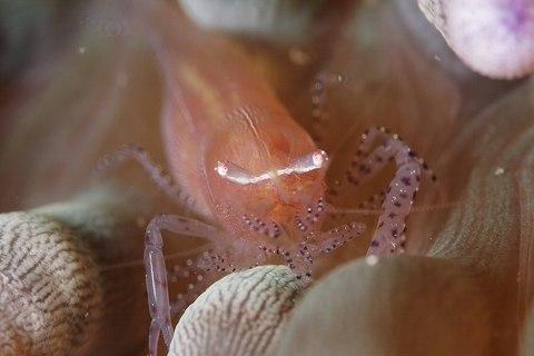 カザリイソギンチャクエビ Periclimenes ornatus