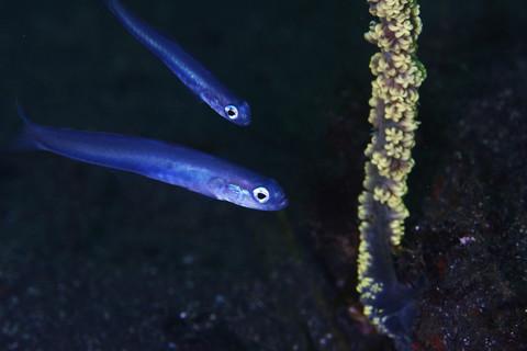 ハナハゼの幼魚 Ptereleotris hanae 大瀬崎 湾内