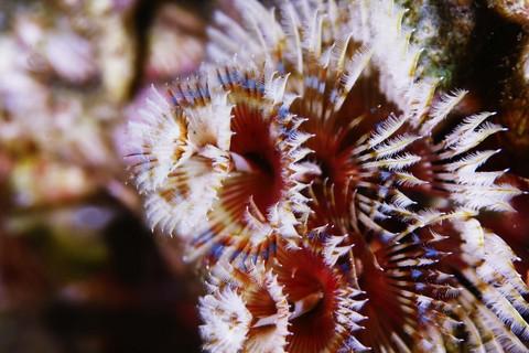 イバラカンザシ Spirobranchus giganteus 大瀬崎 湾内