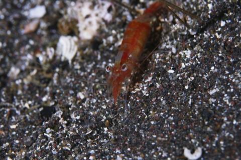 ロウソクエビ Hyashidonus japonica 大瀬崎 湾内