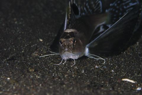 ハチ Apistus carinatus 大瀬崎 湾内でのナイトダイビング