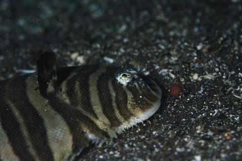 シマウシノシタ Zebrias zebrinus