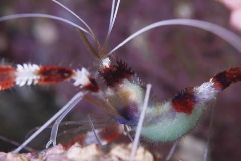 オトヒメエビ(乙姫蝦)の抱卵 Stenopus hispidus 大瀬崎