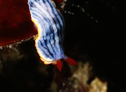 サメジマオトメウミウシ Dermatobranchus striatellus 明鐘