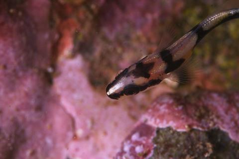 コロダイの幼魚
