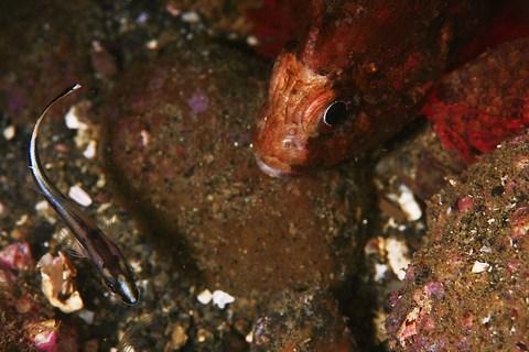 コロダイの幼魚とカサゴ