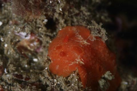 ヒボタンウミウシ Aldisa sp. 2 東京湾・明鐘