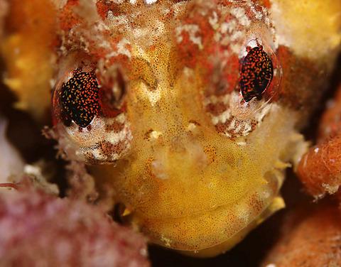 オコゼカジカ Nautichthys pribilovius