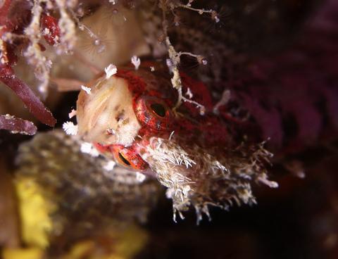 キタフサギンポ Soldatovia polyactocephala