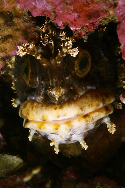 フサギンポ Chirolophis japonicus
