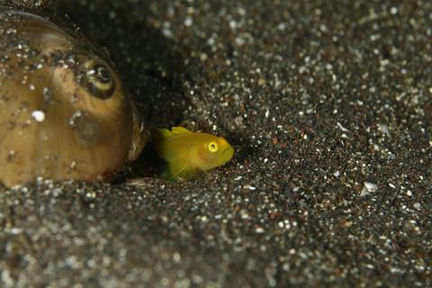 ミジンベニハゼの若魚