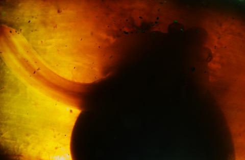 コモンカスベの卵 Okamejei kenojei 志津川