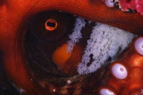 マダコの抱卵 Octopus vulgaris 志津川ダイビング