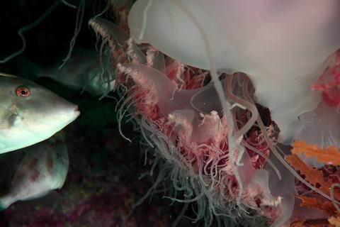 エチゼンクラゲを食べるカワハギ