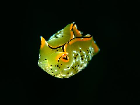「コノハミドリガイ」 Elysia ornata