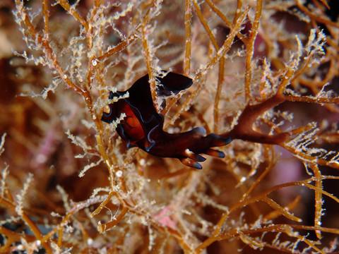 佐渡島ダイビング 「クロヘリアメフラシ」 Aplysia parvula