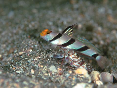 黄金崎ダイビング 「ネジリンボウ」 Stonogobiops xanthorhinica