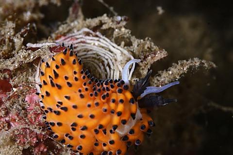 明鐘ダイビング 「ツルガチゴミノウミウシ」 Favorinus tsuruganus