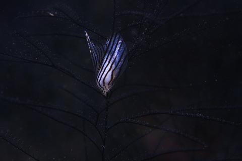 「シロチョウウグイスガイ」 Pteria zebra
