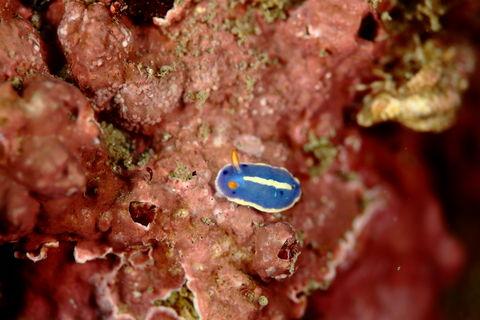 アオウミウシの幼体