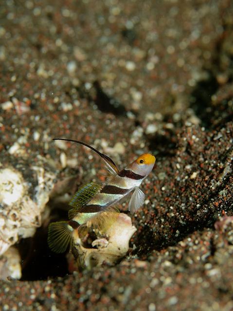 大瀬崎 ヒレナガネジリンボウ Stonogobiops nematodes