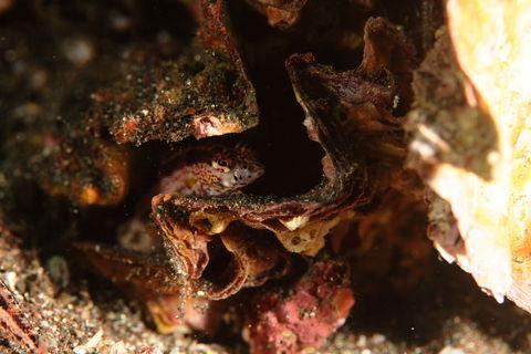 トラギスの幼魚(Parapercis pulchella)