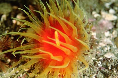 タコアシサンゴ(Monomyces niinoi)