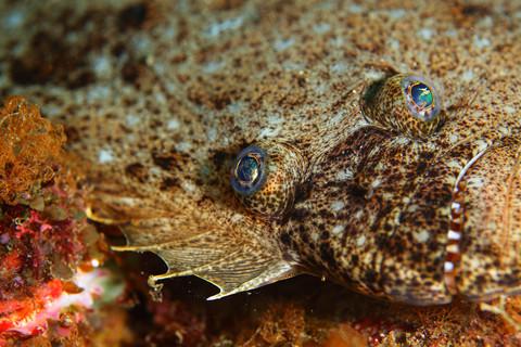 ヒラメ (Paralichthys olivaceus)