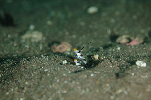ヒレナガネジリンボウ Stonogobiops nematodes