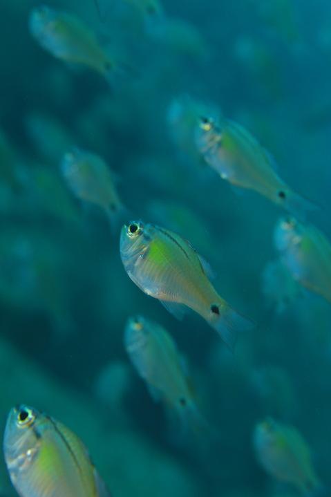 ネンブツダイ Apogon semilineatus
