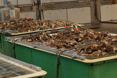 牡蠣の養殖 洗浄槽
