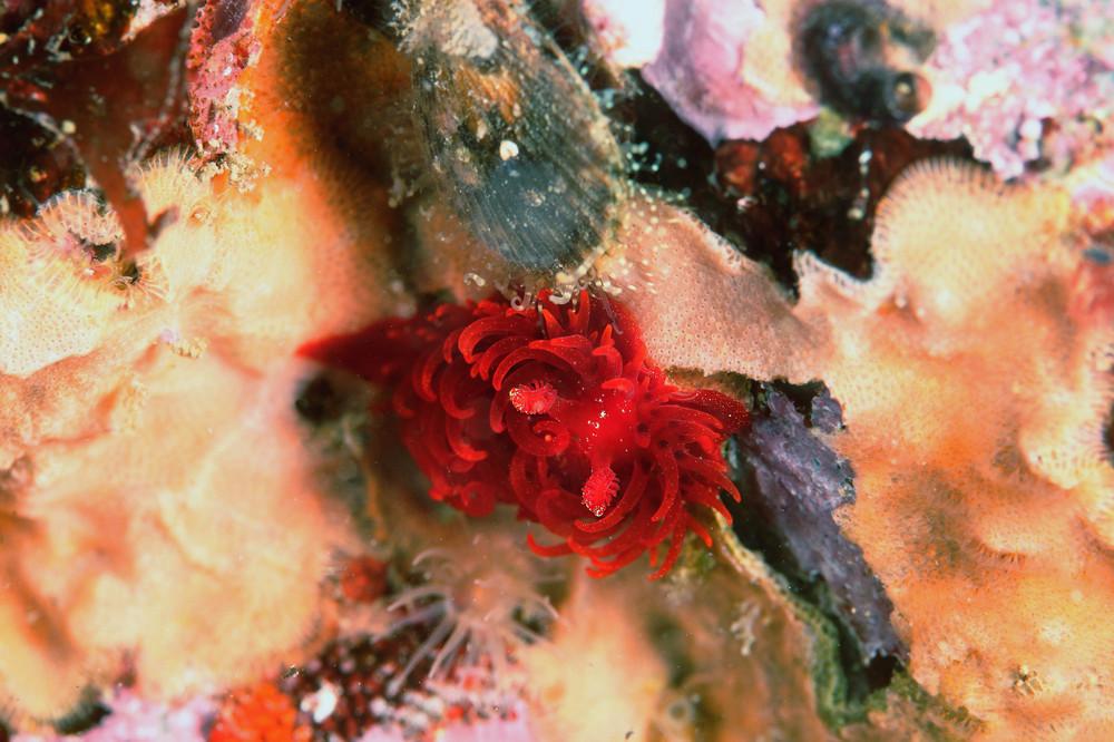 マドレラ・フェルギノーサ Madrella ferruginosa