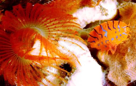テングヨコエビの一種 Pleustidae gen sp.