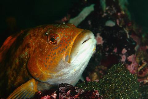 アイナメの抱卵 Hexagrammos otakii