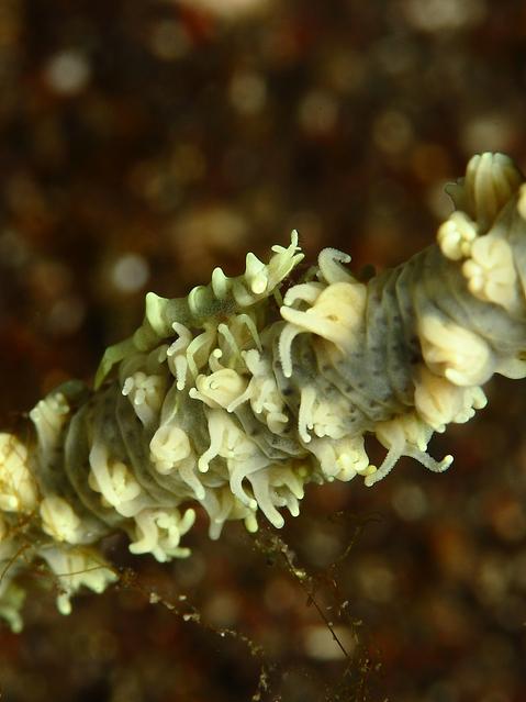 ビシャモンエビ Miropandalus hardingi