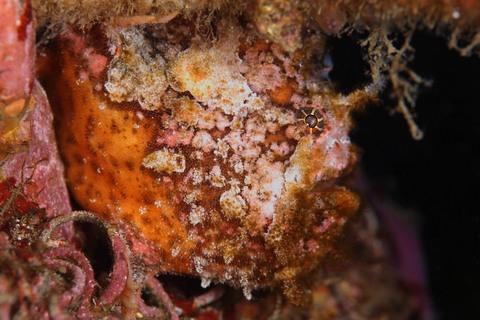 ベニカエルアンコウ(Antennarius striatus )