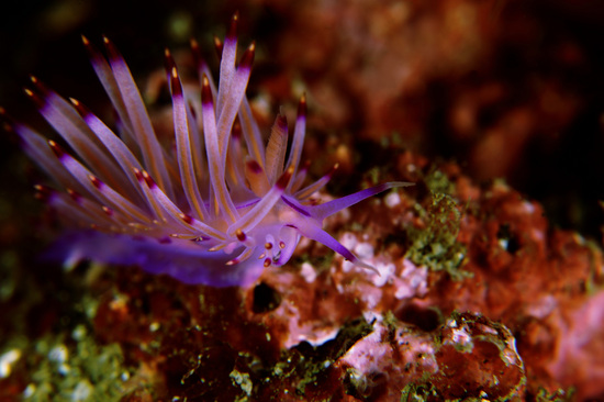 Flabellina rubrolineata セスジミノウミウシ