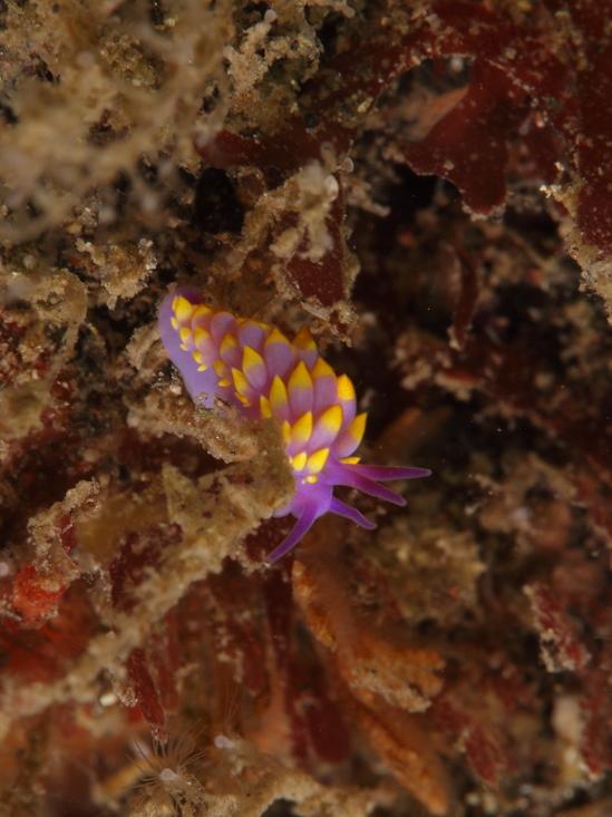 ミチヨミノウミウシ Cuthona sibogae