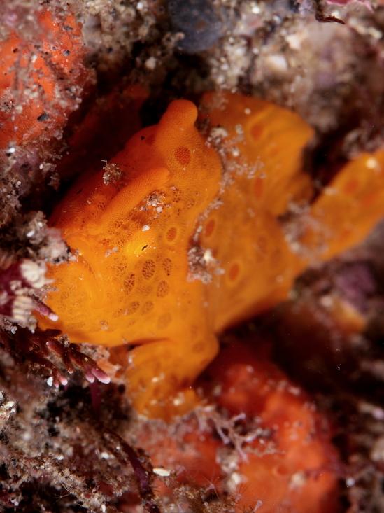 イロカエルアンコウ Antennarius pictus