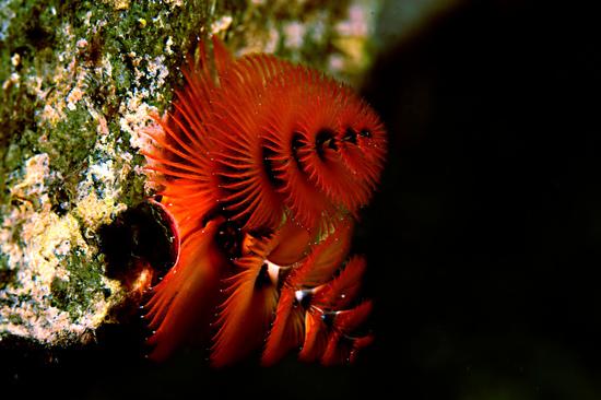 イバラカンザシ Spirobranchus giganteus