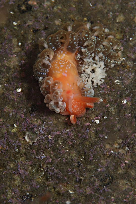 イロミノウミウシ Spurilla neapolitana
