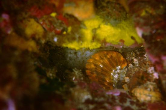フサギンポ Chirolophis japonicusの抱卵