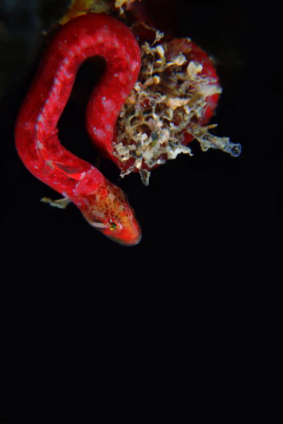 ヒナムシャギンポ Alectrias sp.