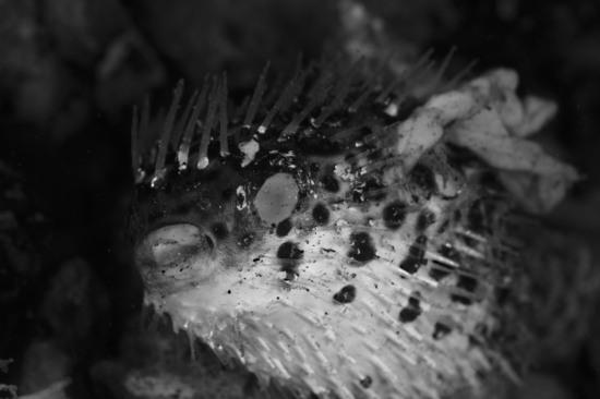 ハリセンボン Diodon holocanthus