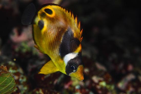 伊豆の死滅回遊魚 チョウハン Chaetodon lunula